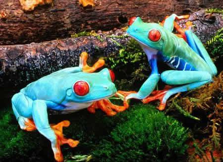 fauna y flora (extremadura-sao luis): Las Ranas
