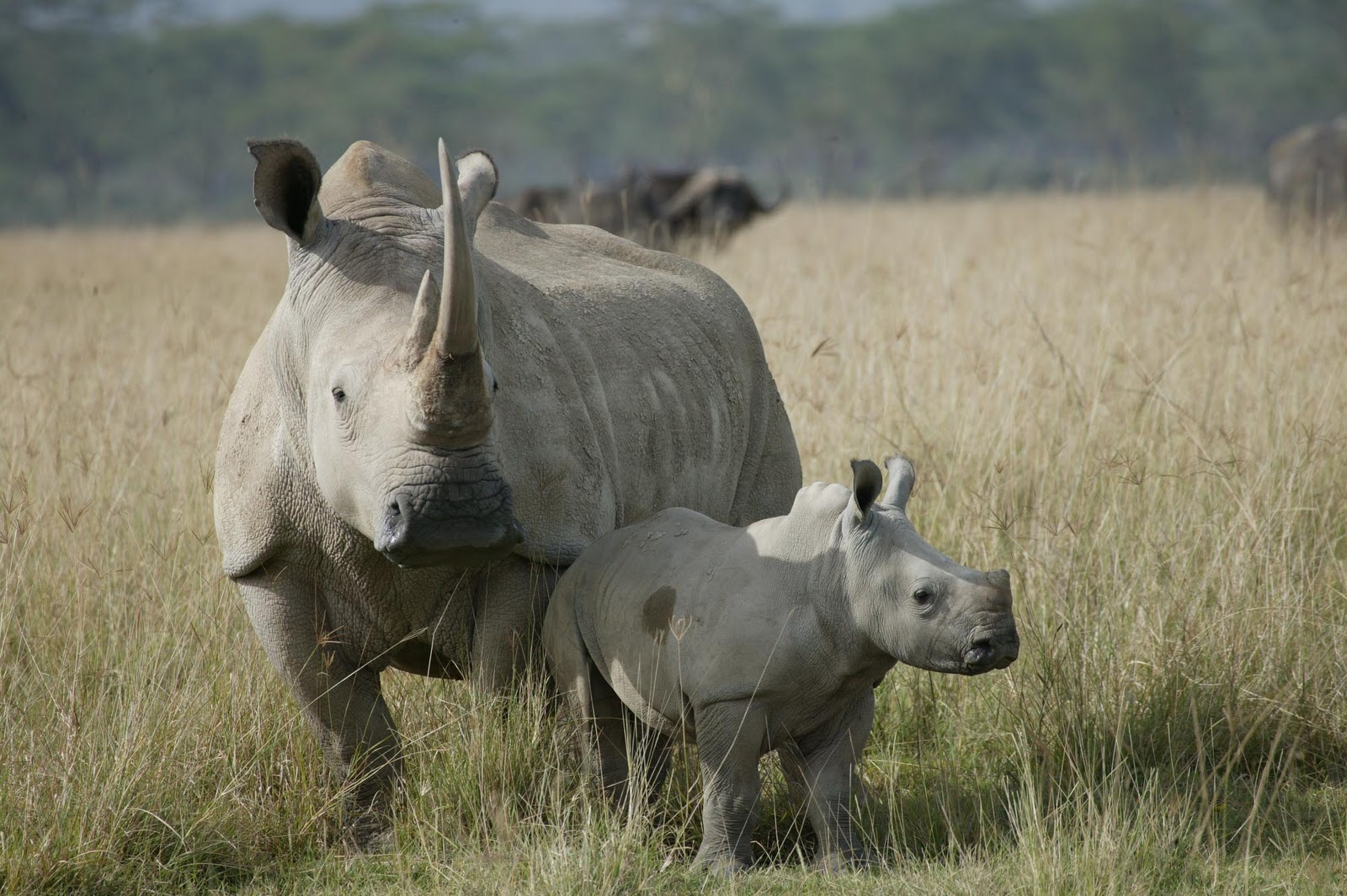 rhinoceros and world Improving security monitoring to protect rhinos from poaching improving local and international law enforcement to stop the illegal flow of rhino horn from africa to other regions of the world and promoting well-managed wildlife-based tourism experiences that will also provide additional funding for conservation efforts.