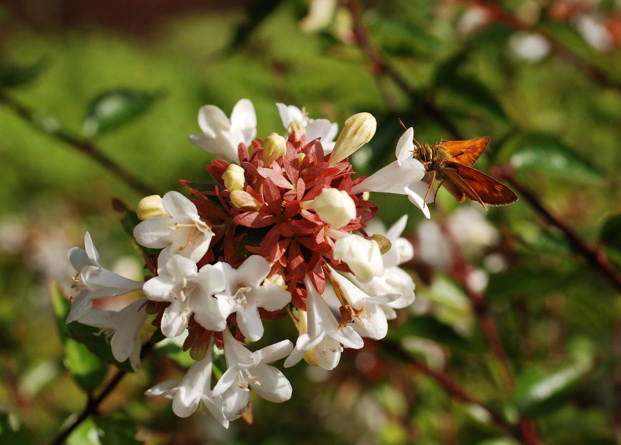 Il mondo in un giardino: abelia grandiflora, bellezza estiva e ...
