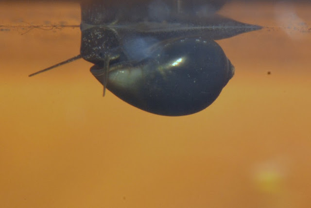 snail crawling on underside of water surface