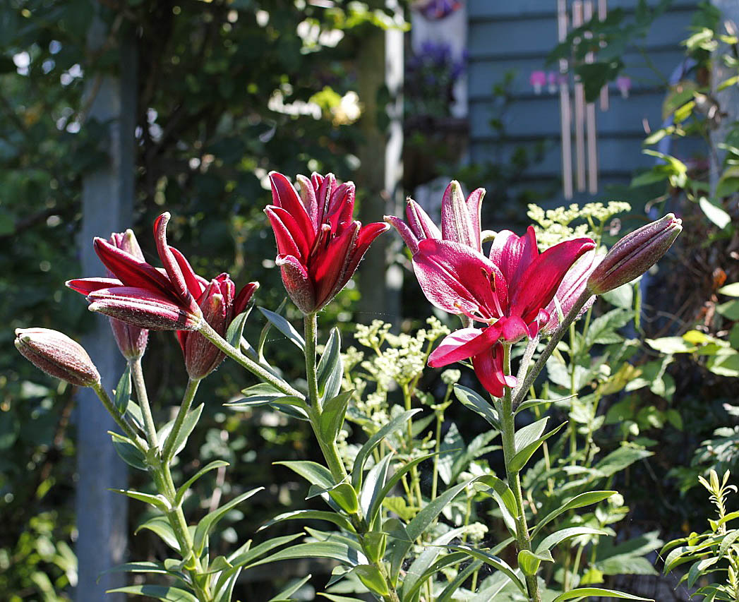 Bloomingwriter gardening in nova scotia theres lilies and then true lilies have a central stem with leaves arranged in a whorl all around the stem the flowers are born at or near the top of that stem izmirmasajfo