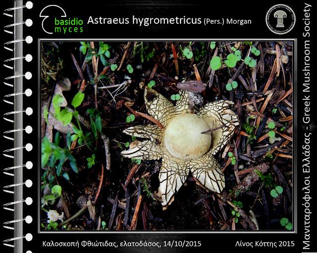 Astraeus hygrometricus (Pers.) Morgan
