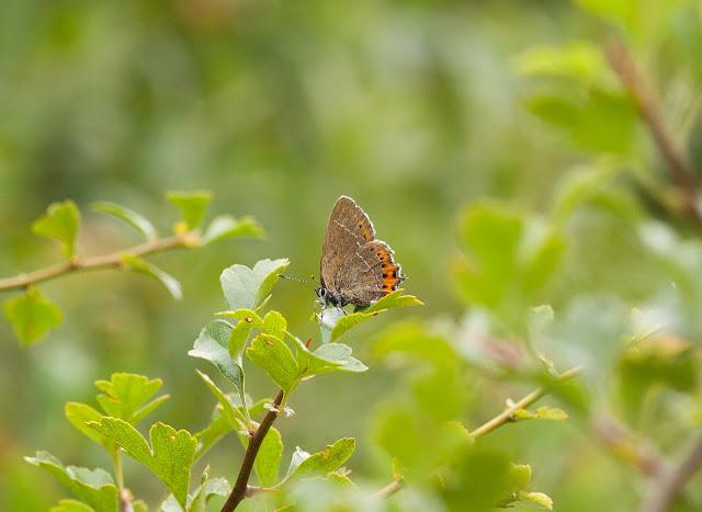 Black Hairstreak - Whitecross Green Woods, Oxfordshire