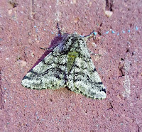 Latest New Macro Moth Species - Brindled Beauty