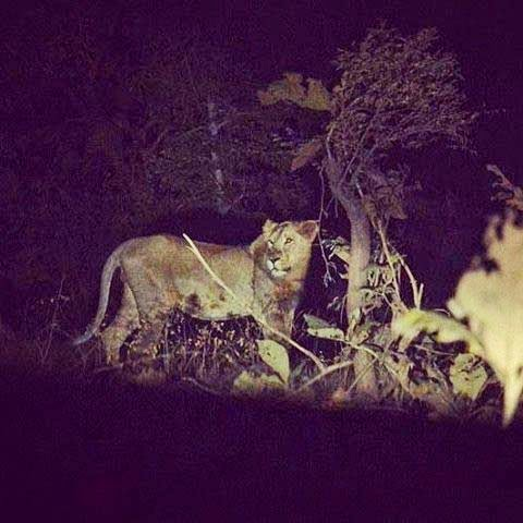 lion-original-real-picture-of-night