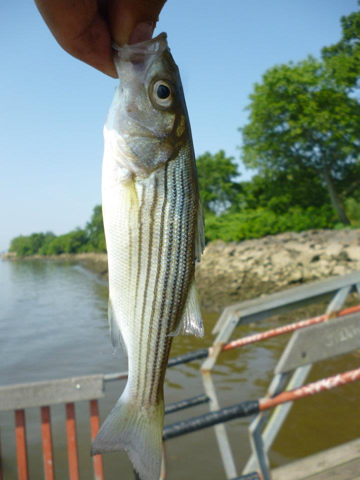Extreme philly fishing multi species 2 years of fishing for Delaware river striper fishing