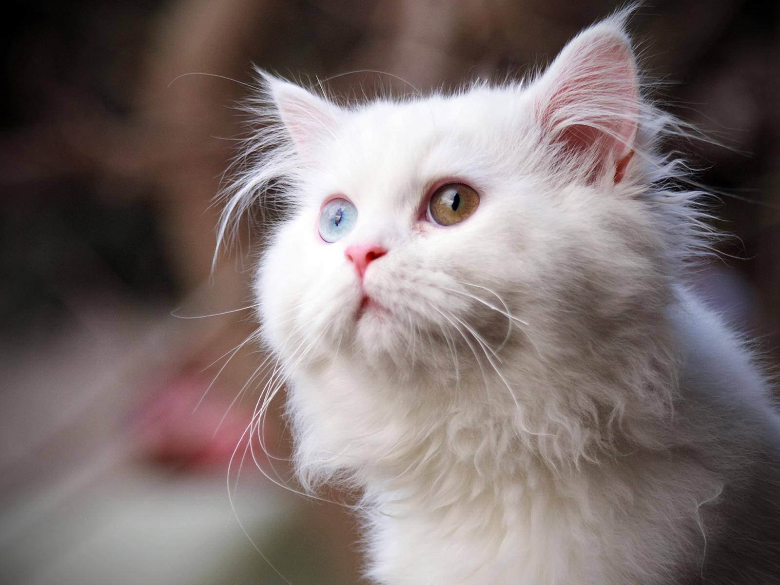 Бяло коте с различни очи, HD Wallpaper
