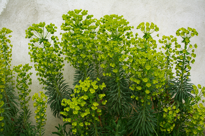 Renato photoblog le euphorbie per il giardino - Alberello da giardino ...