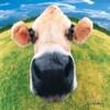 Hình bò sữa kích thước nhỏ làm Avatar