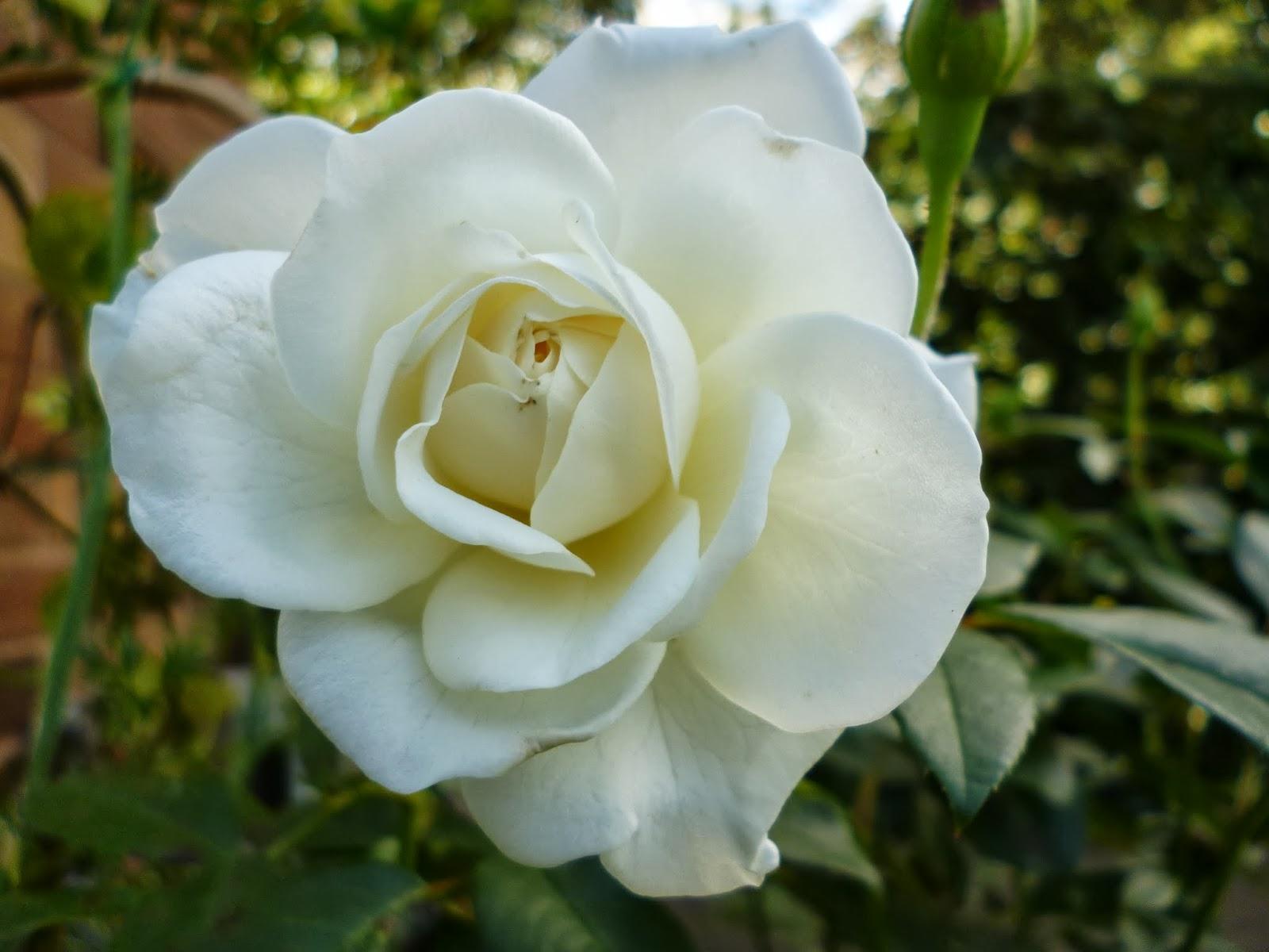 Rose iceberg floribunda gardening express review for Gardening express reviews