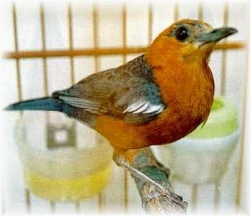 Gambar Anis Merah Bali Juara Kontes Burung Kicau 2014