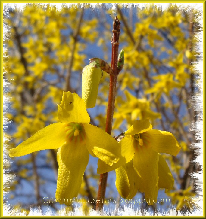 forsythia from bud to bloom photo image