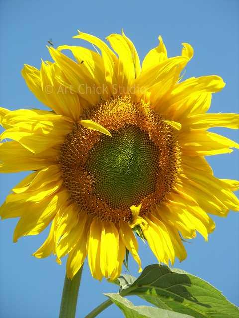 Dylan's Sunflower Photo