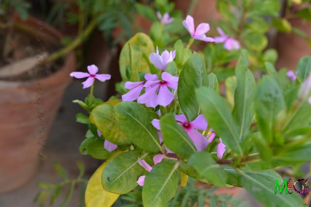Metro Greens: Pink Vinca Blooms