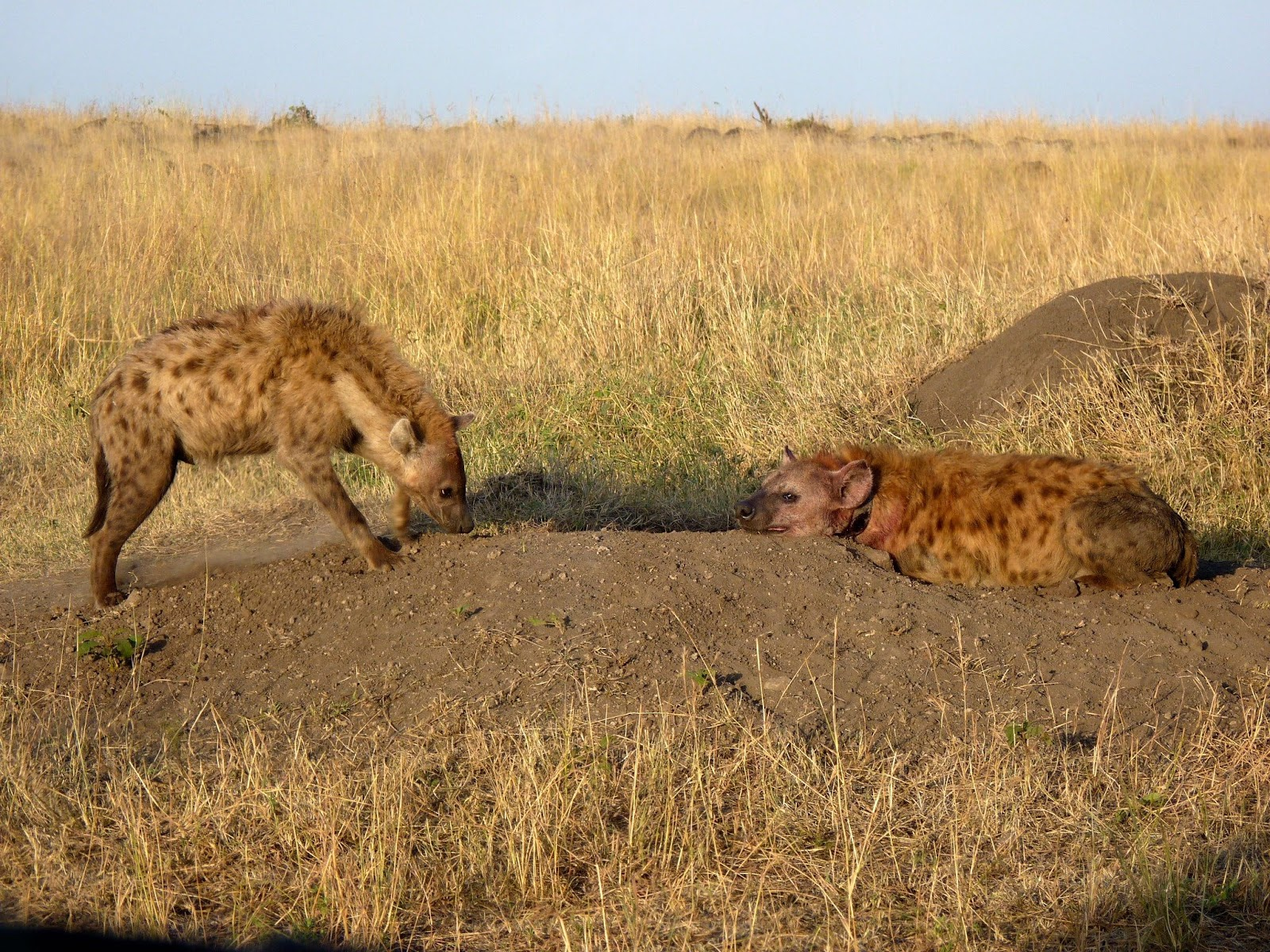 Notes From Kenya Msu Hyena Research Hyenas Why