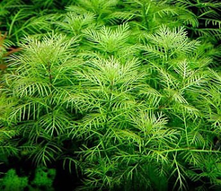 ����� ������ ���   ��������� myriophyllumcp6lo0.p