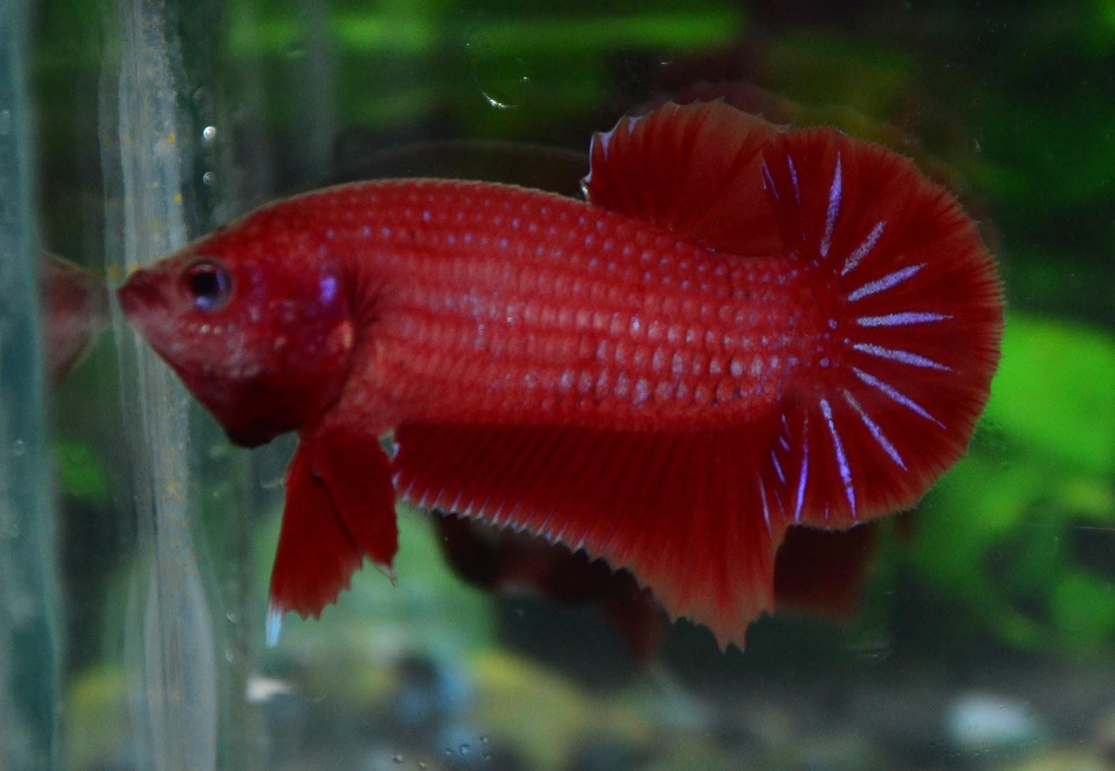 Betta fish afira betta nj cambodian red sold for Pictures of betta fish