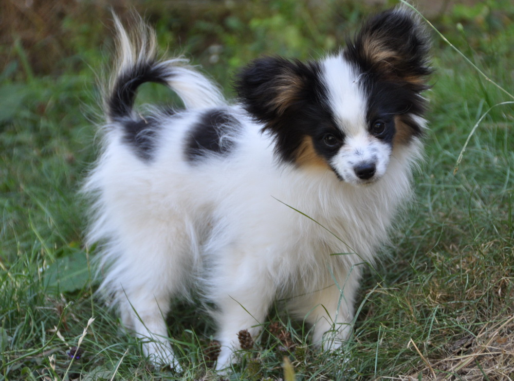 The Papillon dog may also be tri-colored, white body with black ...