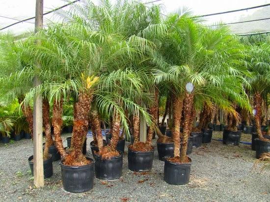 plantas e jardins ornamentais:Plantas,Flores,Palmeiras,Plantas Ornamentais,Jardins,Paisagismo