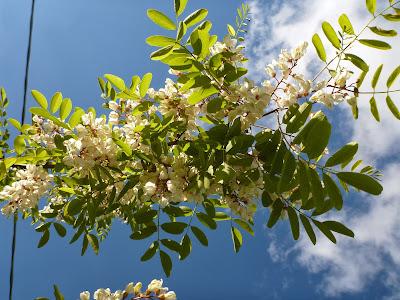 Robinia psuedoacacia near Villanova Mondovì
