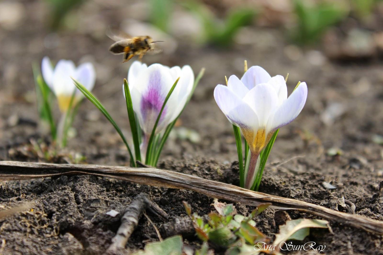 крокусы, первоцветы, пейзаж, весна, цветочки, первые цветы, весенний пейзаж