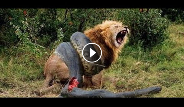 Animal Clip168 Python Vs Lion