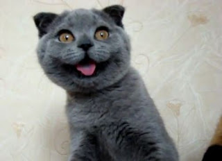 Funny Scottish Fold Cat