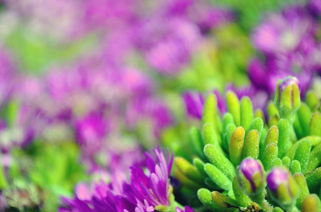 monterey shrub