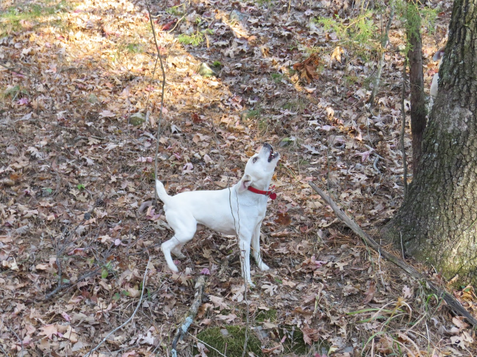 Squirrel Dogs In Arkansas For Sale