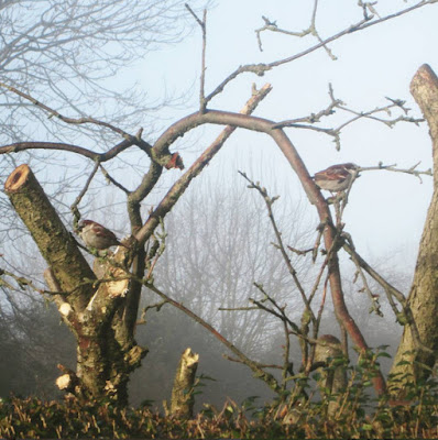 Sparrows in an apple tree during autumn winter in the british countryside on a crisp, cold morning.