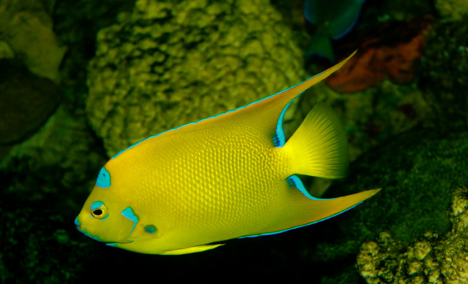 Life of Queen Angelfish Life of Sea