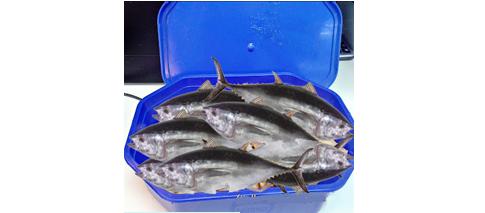 ikan ais, ikan aiskrim, ikan dalam kontena aiskrim