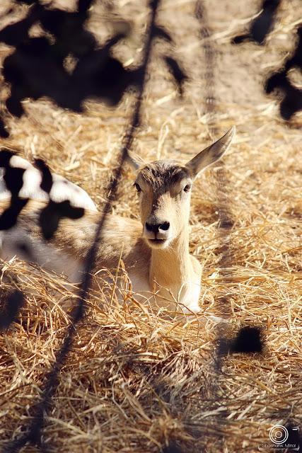 Chinkara by shashank mittal photography, shashank mittal, shashank. mittal, photography, deer, zoo, delhi, wild life