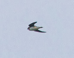 2 Sand Martins,  26th March 2011