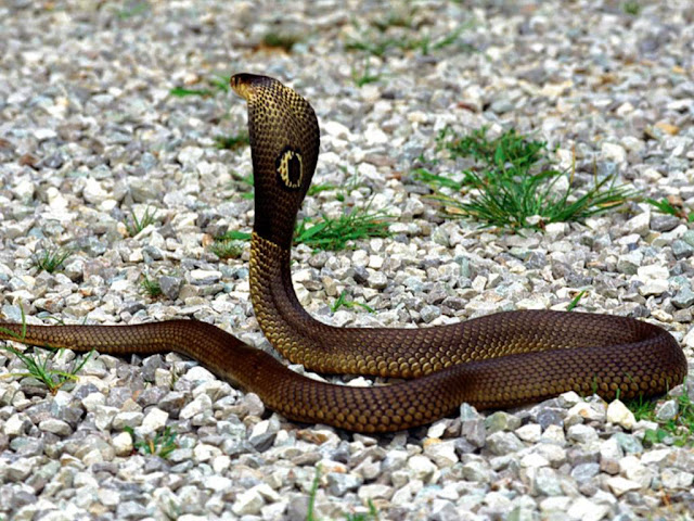 Deadly Beauty-Snake18