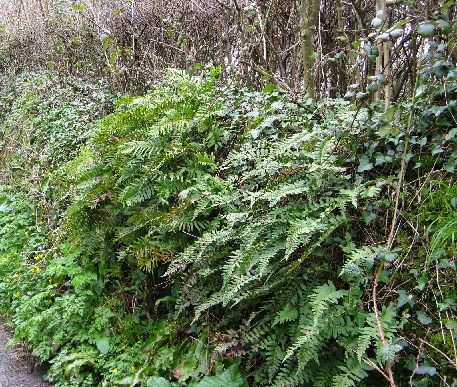 Polypodium cambricum hedgebank habitat