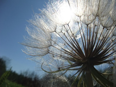 giant dandelion in the sun, nature, grassy field
