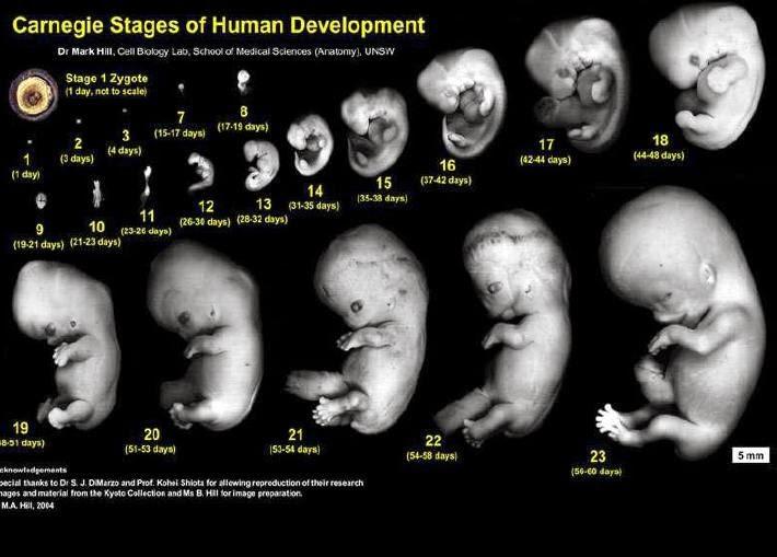 perkembangan bayi dalam kandungan