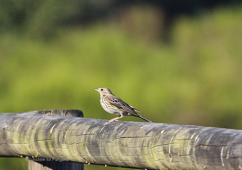 Tree Pipit, Anthus trivialis, in southern Germany