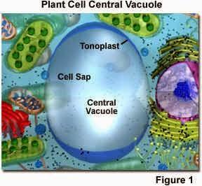 Fungsi dan manfaat vakuola dalam sel