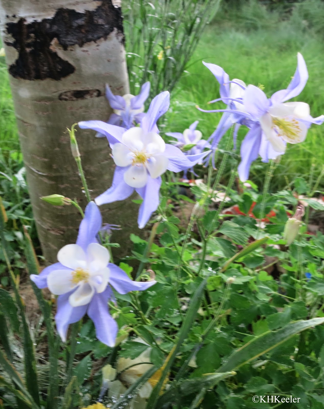A wandering botanist plant story colorful columbines aquilegia thirdly hummingbirds tongues can reach into the columbines spurs but the spurs have to be rather broad and not too long some species of hawkmoth have izmirmasajfo