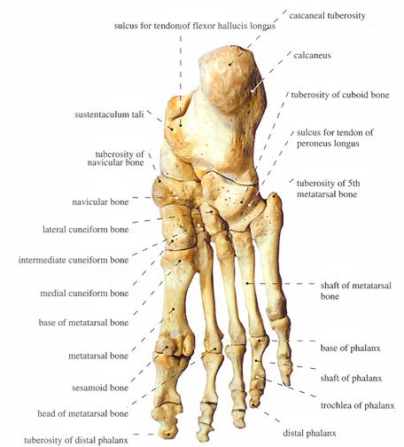 bones of foot. Bones of foot: