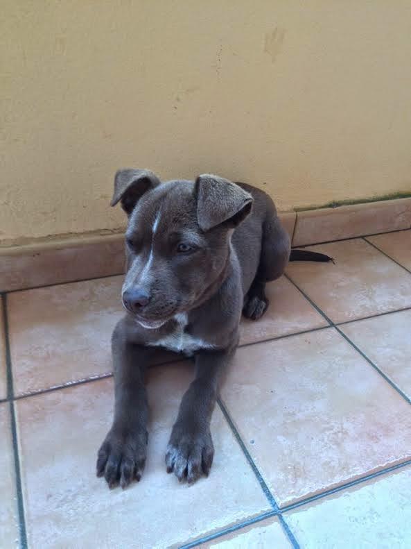 ROMA , Spettacolare cucciola pitbull di 3 mesi, sverminata, vaccinata e  microchippata, cerca urgentemente famiglia adottiva. La piccola è  bellissima,