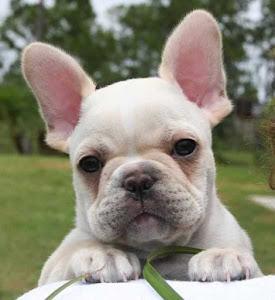 Animal do Mês - Bulldog Francês