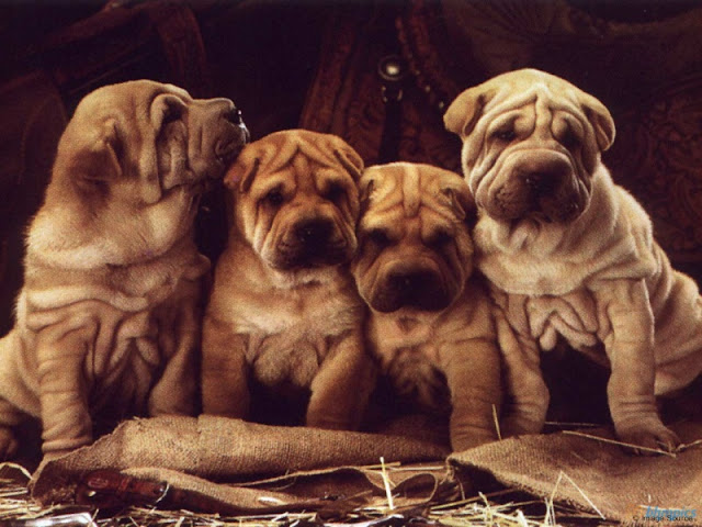 Cute Dog HD Wallpaper