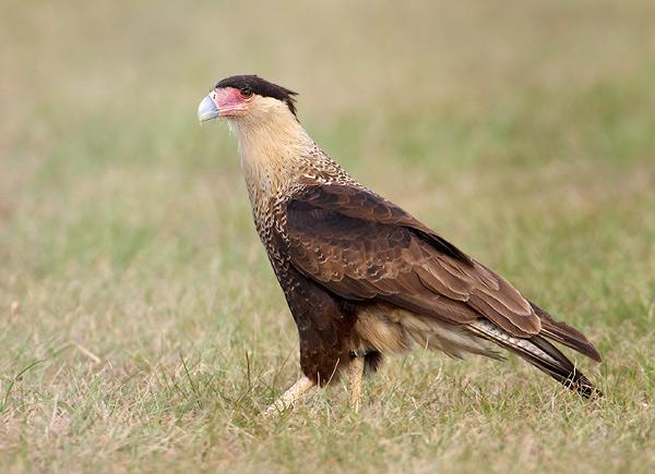 aves de rapina o falcÃo