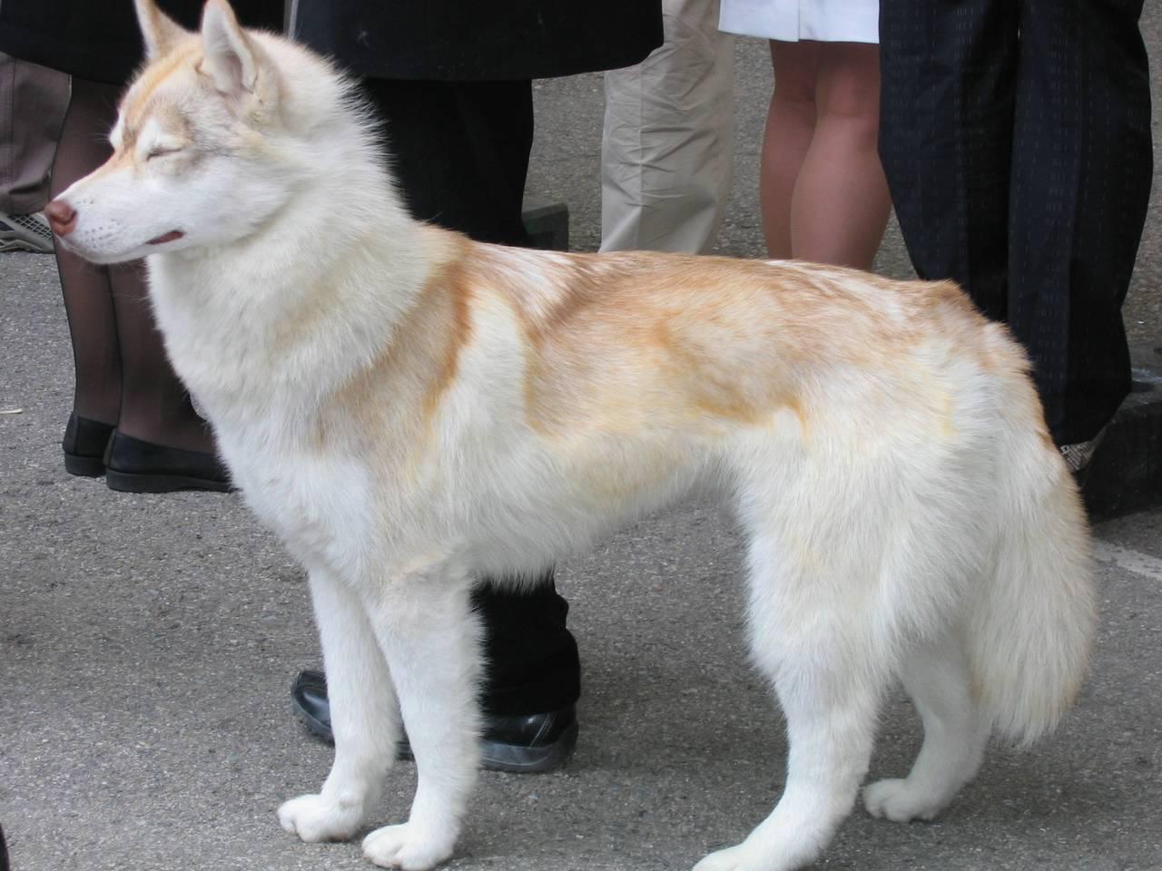 Dogs Info: Serberian Husky Dog Breed