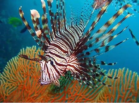 Ikan Lion Fish yang Indah Tetapi Beracun