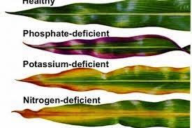 cara mengatasi kekurangan nutrisi pada tanaman, tanaman kekurangan gizi