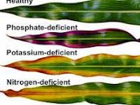 Tanda-Tanda Dan Cara Mengatasi Kekurangan Nutrisi Pada Tanaman